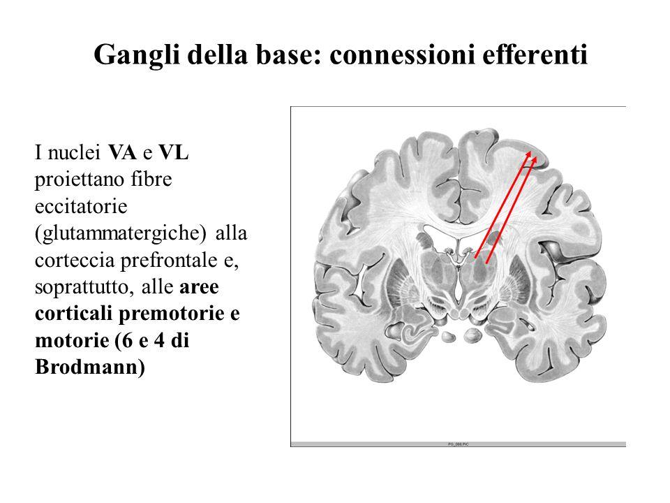 Gangli della base: connessioni efferenti I nuclei VA e VL proiettano fibre eccitatorie (glutammatergiche) alla corteccia prefrontale e, soprattutto, a