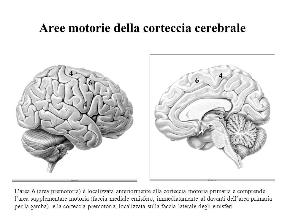 Aree motorie della corteccia cerebrale 4 4 4 6 6 Larea 6 (area premotoria) è localizzata anteriormente alla corteccia motoria primaria e comprende: la