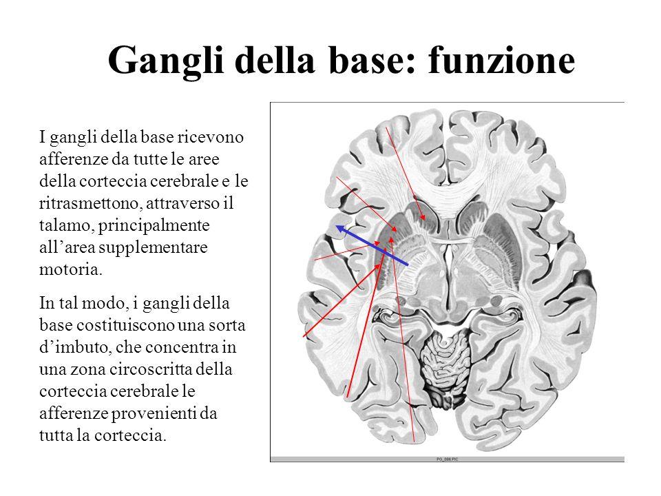 Gangli della base: funzione I gangli della base ricevono afferenze da tutte le aree della corteccia cerebrale e le ritrasmettono, attraverso il talamo