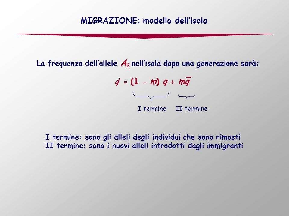 La frequenza dellallele A 2 nellisola dopo una generazione sarà: q = (1 m) q mq La frequenza dellallele A 2 nellisola dopo una generazione sarà: q = (1 m) q mq MIGRAZIONE: modello dellisola I termineII termine I termine: sono gli alleli degli individui che sono rimasti II termine: sono i nuovi alleli introdotti dagli immigranti