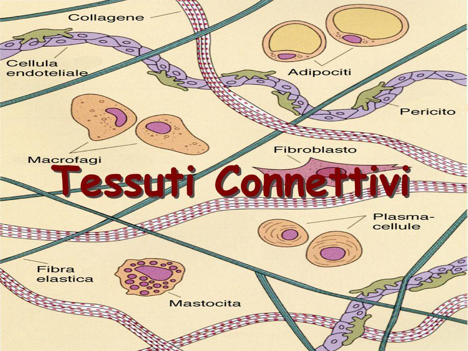 DistribuzioneDistribuzione –Sottocutaneo –Impalcatura degli organi –Guaina dei vasi sanguigni –Lamina Propria delle mucose FunzioneFunzione –Risposta infiammatoria (immunitaria) –Cellule di sostegno, macrofagi