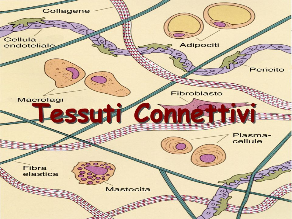 Tessuti Connettivi