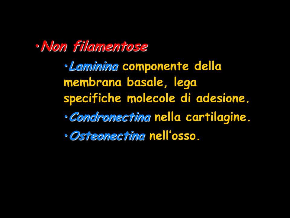 Non filamentoseNon filamentose LamininaLaminina componente della membrana basale, lega specifiche molecole di adesione. CondronectinaCondronectina nel