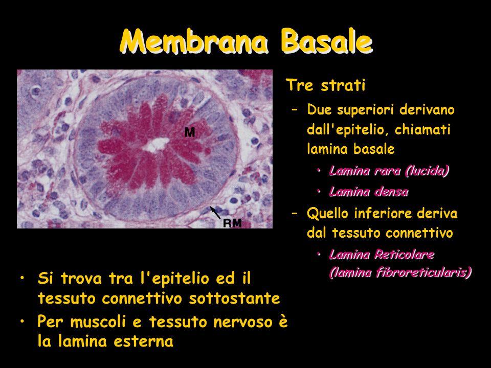 Membrana Basale Si trova tra l'epitelio ed il tessuto connettivo sottostante Per muscoli e tessuto nervoso è la lamina esterna Tre strati –Due superio