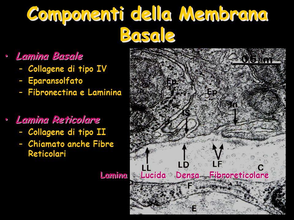 Componenti della Membrana Basale Lamina BasaleLamina Basale –Collagene di tipo IV –Eparansolfato –Fibronectina e Laminina Lamina ReticolareLamina Reti