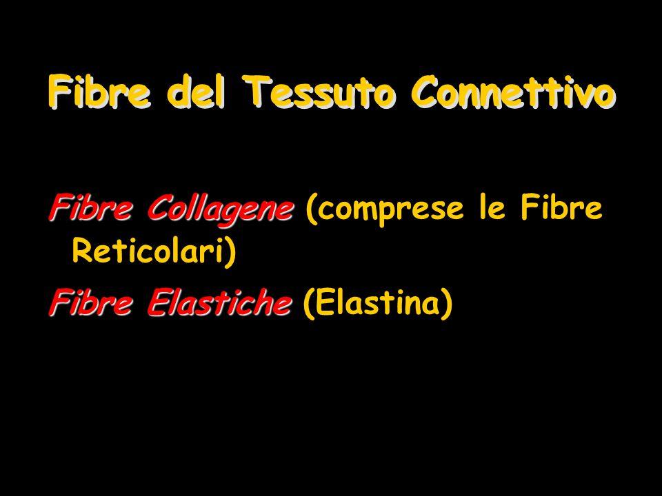 Fibre del Tessuto Connettivo Fibre Collagene Fibre Collagene (comprese le Fibre Reticolari) Fibre Elastiche Fibre Elastiche (Elastina)