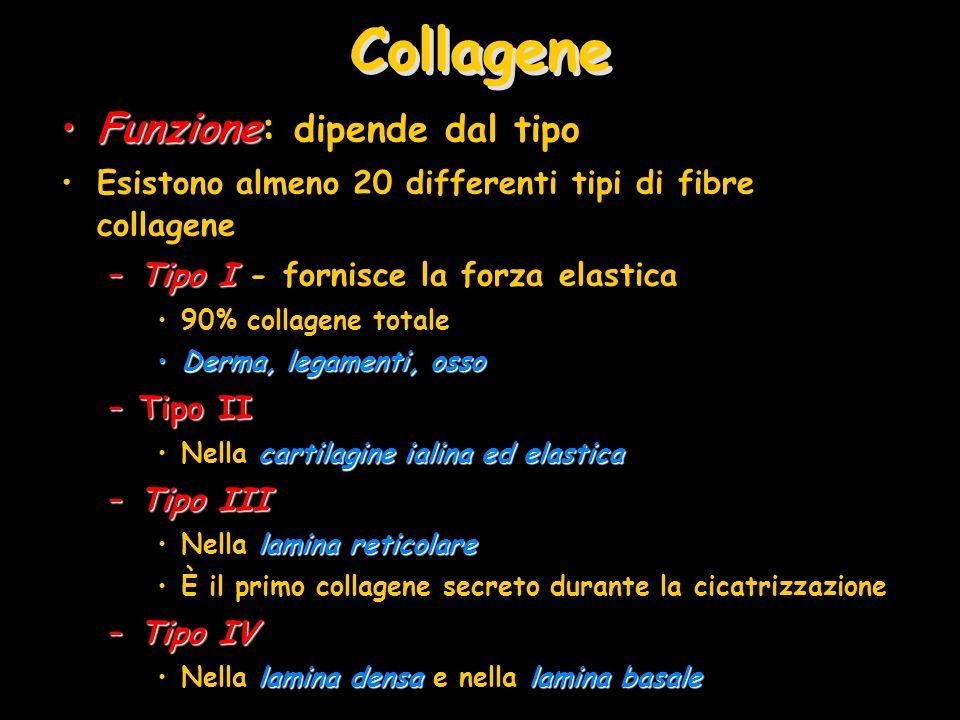 Collagene FunzioneFunzione: dipende dal tipo Esistono almeno 20 differenti tipi di fibre collagene –Tipo I –Tipo I - fornisce la forza elastica 90% co
