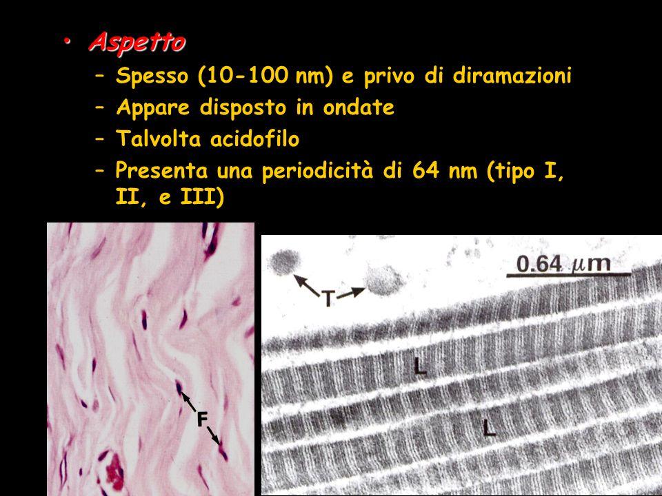 AspettoAspetto –Spesso (10-100 nm) e privo di diramazioni –Appare disposto in ondate –Talvolta acidofilo –Presenta una periodicità di 64 nm (tipo I, I