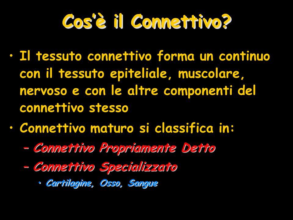 Cosè il Connettivo? Il tessuto connettivo forma un continuo con il tessuto epiteliale, muscolare, nervoso e con le altre componenti del connettivo ste