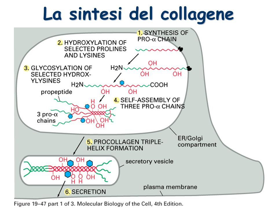 La sintesi del collagene