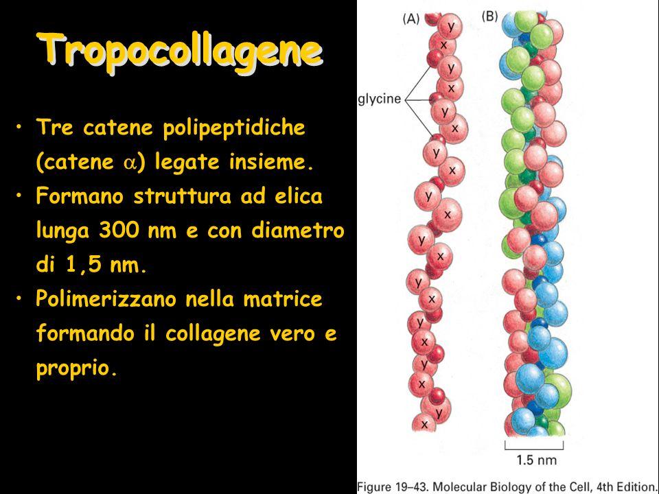 Tre catene polipeptidiche (catene ) legate insieme. Formano struttura ad elica lunga 300 nm e con diametro di 1,5 nm. Polimerizzano nella matrice form