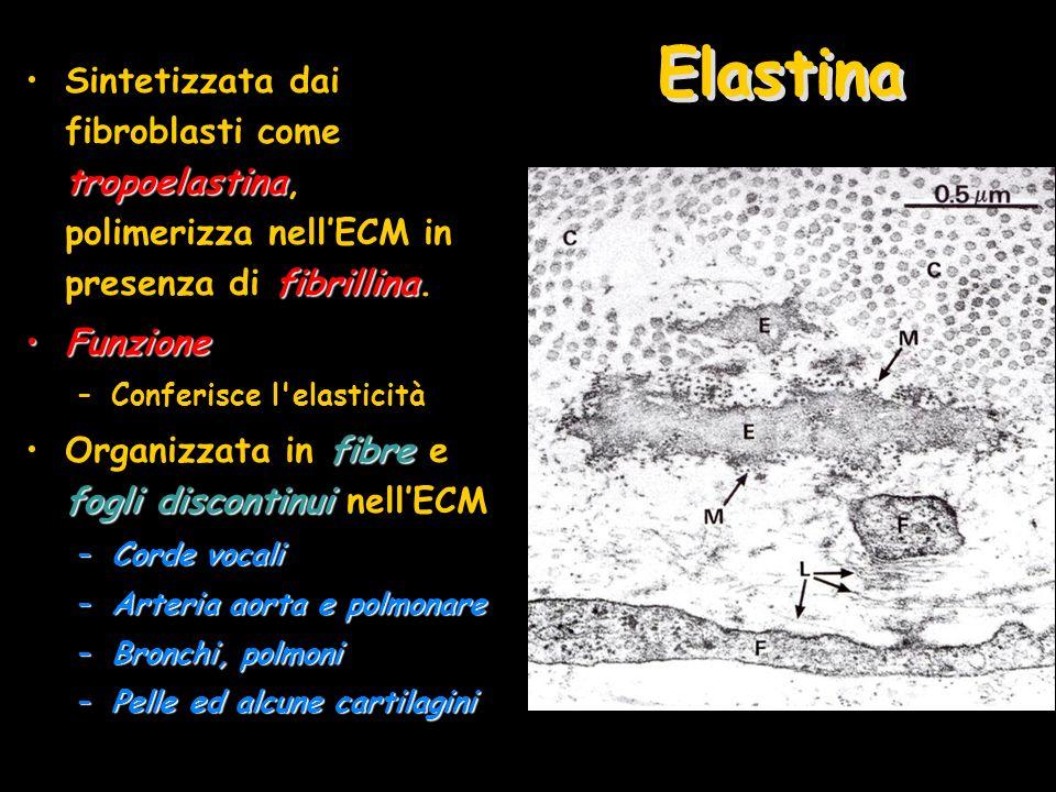 Elastina tropoelastina fibrillinaSintetizzata dai fibroblasti come tropoelastina, polimerizza nellECM in presenza di fibrillina. FunzioneFunzione –Con