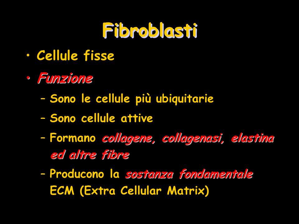 Fibroblasti Cellule fisse FunzioneFunzione –Sono le cellule più ubiquitarie –Sono cellule attive collagene, collagenasi, elastina ed altre fibre –Form