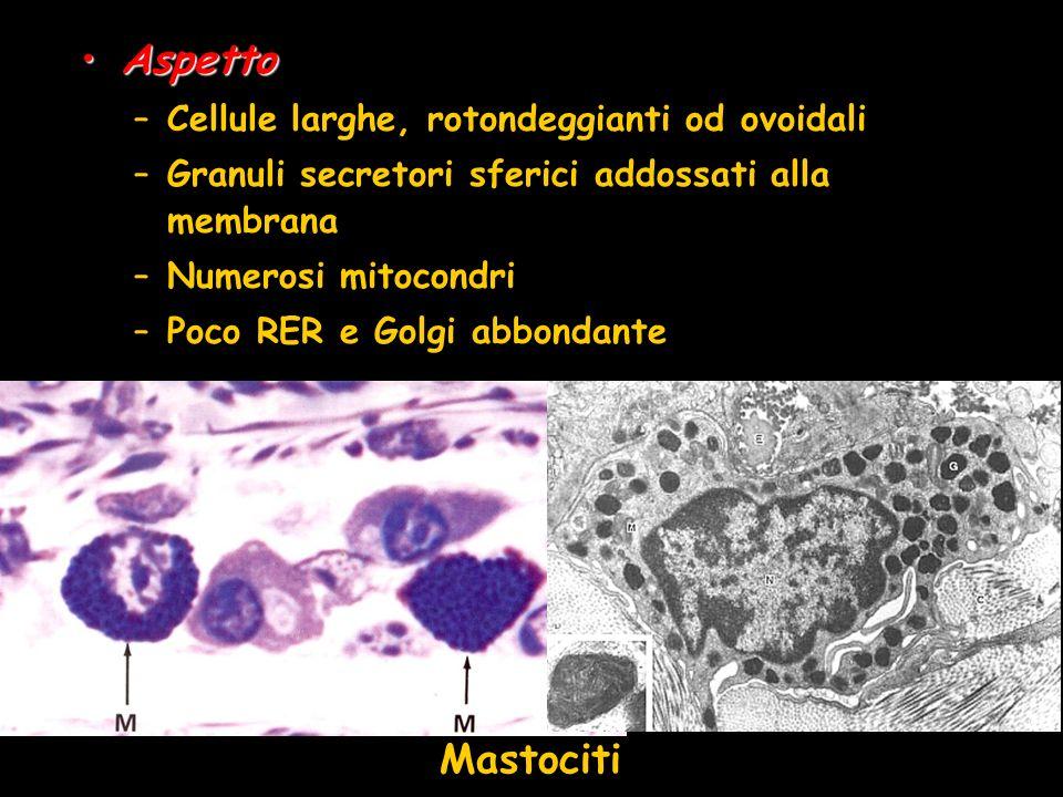 AspettoAspetto –Cellule larghe, rotondeggianti od ovoidali –Granuli secretori sferici addossati alla membrana –Numerosi mitocondri –Poco RER e Golgi a