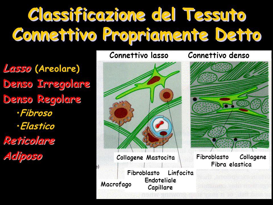 Classificazione del Tessuto Connettivo Propriamente Detto Lasso Lasso (Areolare) Denso Irregolare Denso Regolare Fibroso ElasticoReticolareAdiposo Con