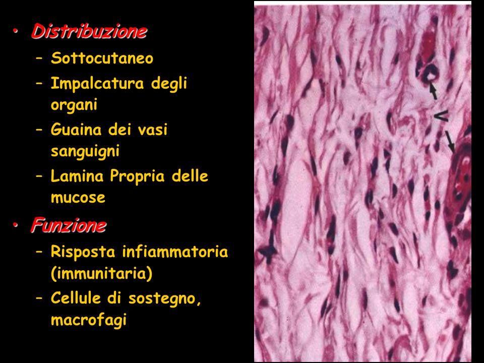 DistribuzioneDistribuzione –Sottocutaneo –Impalcatura degli organi –Guaina dei vasi sanguigni –Lamina Propria delle mucose FunzioneFunzione –Risposta