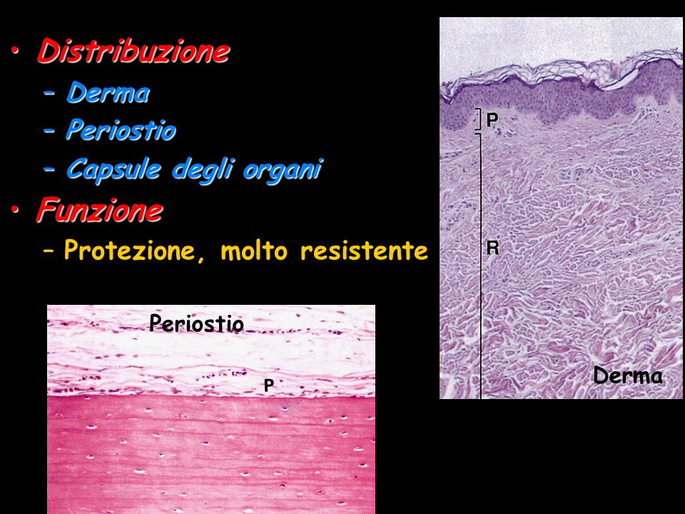 DistribuzioneDistribuzione –Derma –Periostio –Capsule degli organi FunzioneFunzione –Protezione, molto resistente Derma Periostio