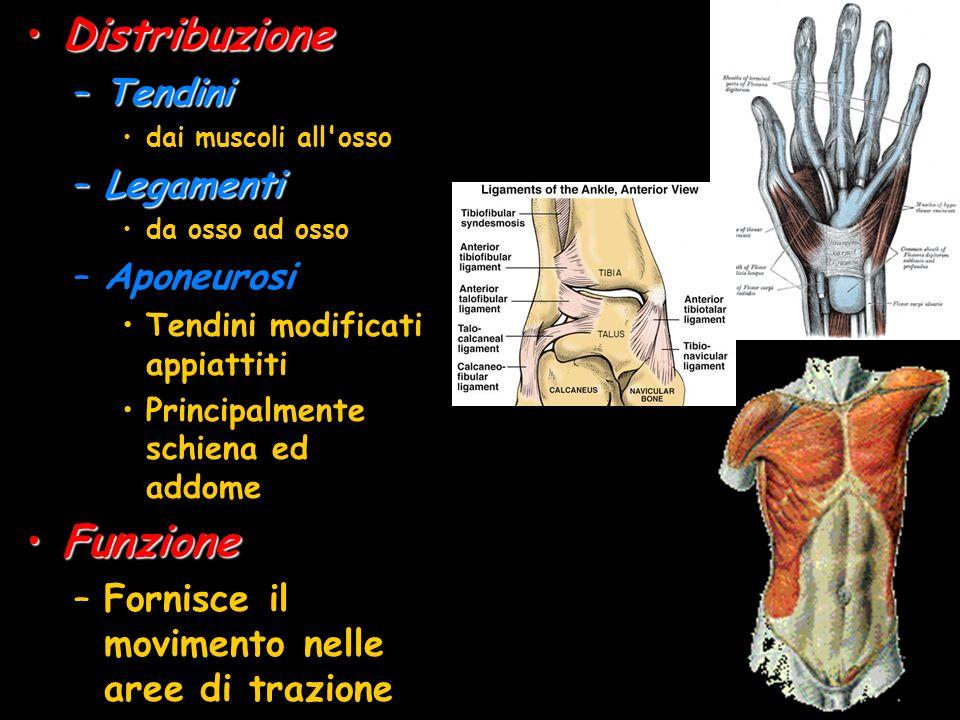DistribuzioneDistribuzione –Tendini dai muscoli all'osso –Legamenti da osso ad osso –Aponeurosi Tendini modificati appiattiti Principalmente schiena e