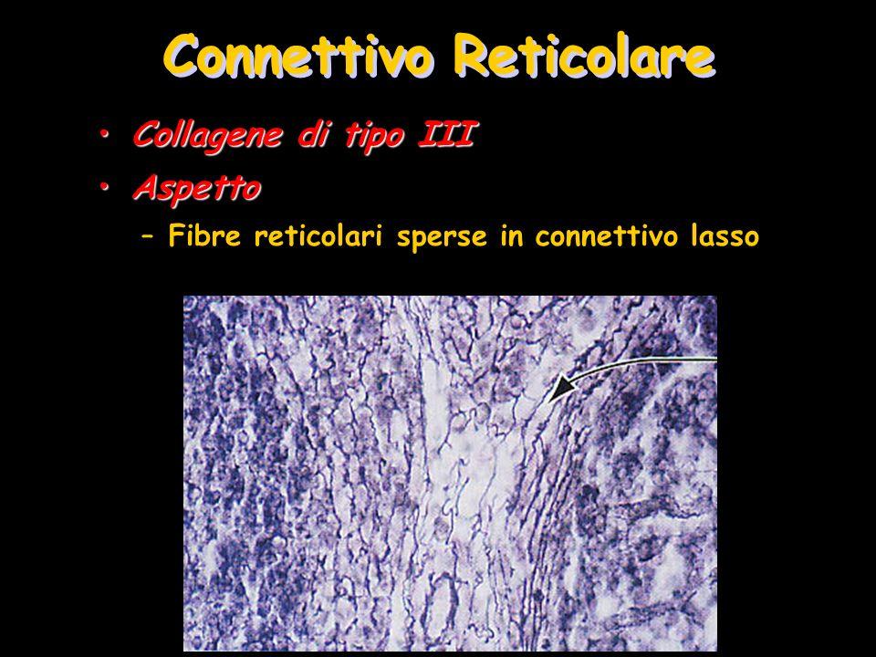 Connettivo Reticolare Collagene di tipo IIICollagene di tipo III AspettoAspetto –Fibre reticolari sperse in connettivo lasso