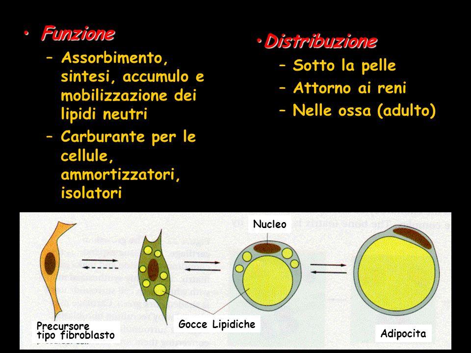 FunzioneFunzione –Assorbimento, sintesi, accumulo e mobilizzazione dei lipidi neutri –Carburante per le cellule, ammortizzatori, isolatori Distribuzio