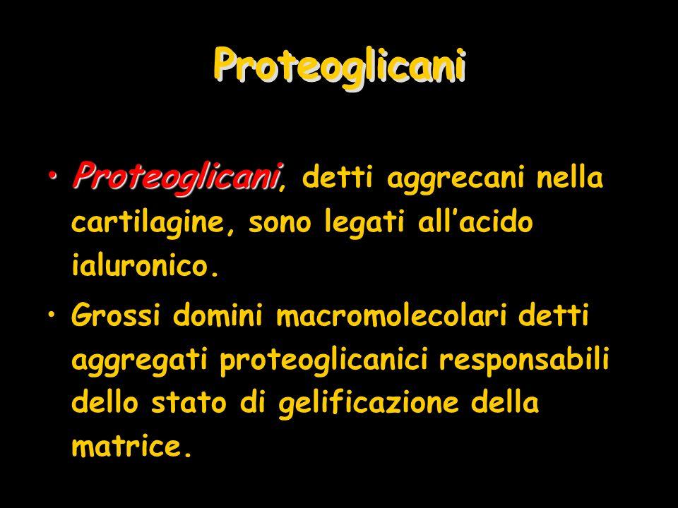 Proteoglicani ProteoglicaniProteoglicani, detti aggrecani nella cartilagine, sono legati allacido ialuronico. Grossi domini macromolecolari detti aggr