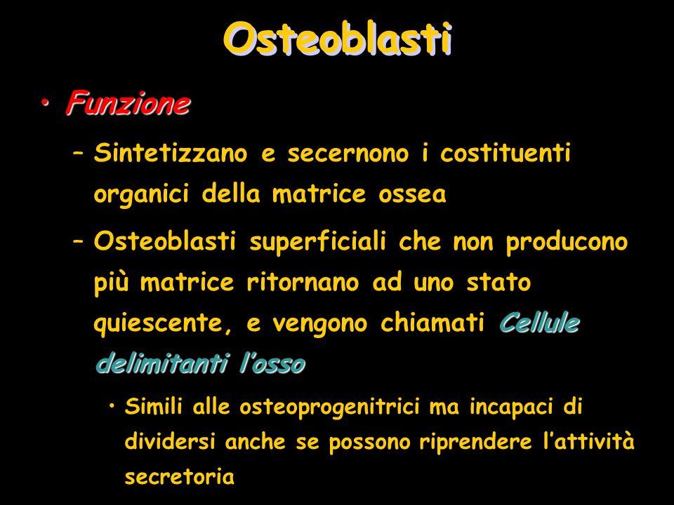 FunzioneFunzione –Sintetizzano e secernono i costituenti organici della matrice ossea Cellule delimitanti losso –Osteoblasti superficiali che non prod