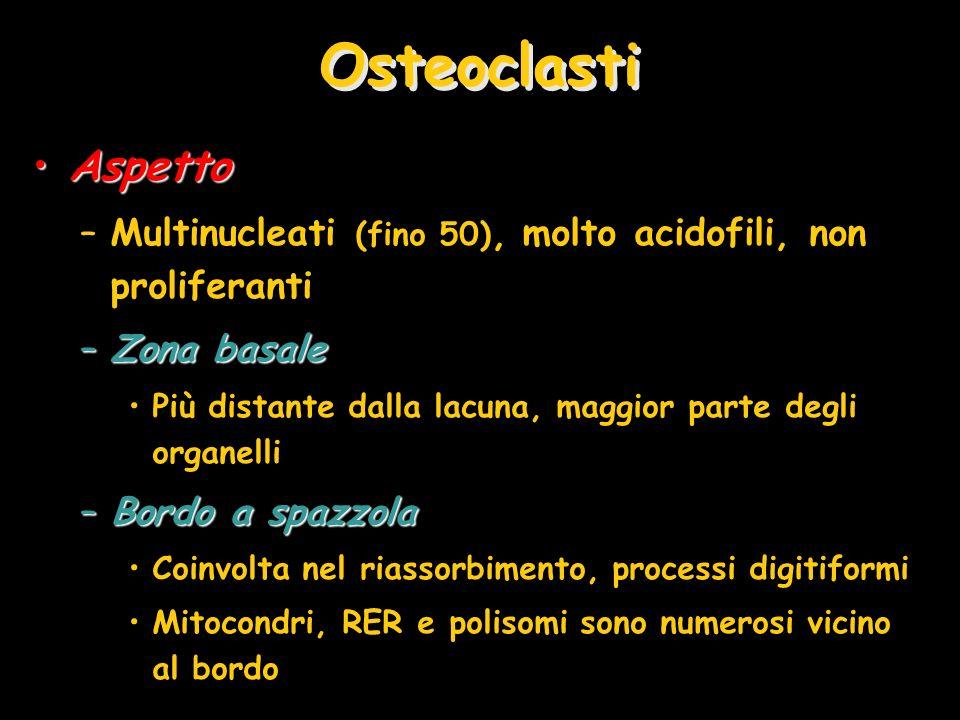 AspettoAspetto –Multinucleati (fino 50), molto acidofili, non proliferanti –Zona basale Più distante dalla lacuna, maggior parte degli organelli –Bord