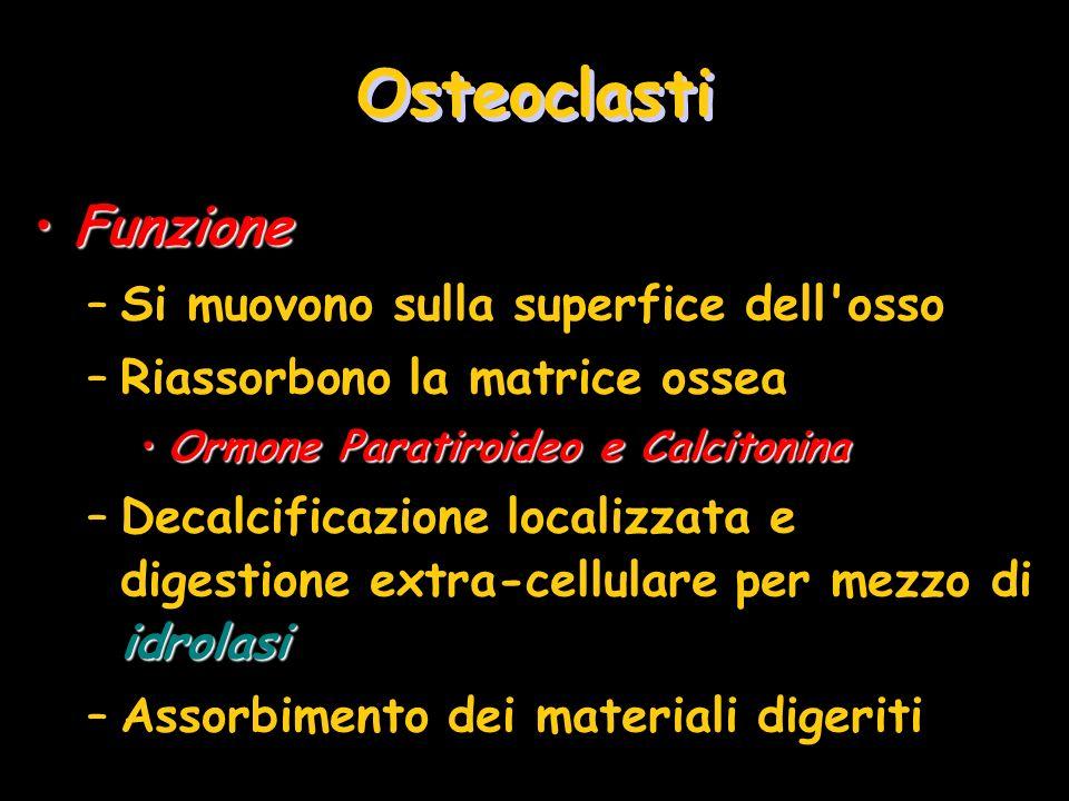 Osteoclasti FunzioneFunzione –Si muovono sulla superfice dell'osso –Riassorbono la matrice ossea Ormone Paratiroideo e CalcitoninaOrmone Paratiroideo