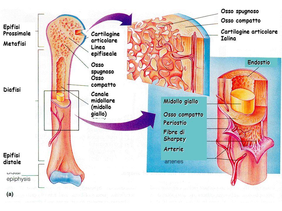 EpifisiProssimaleMetafisiDiafisi Epifisi distale Cartilagine articolare Linea epifiseale Osso spugnoso Osso compatto Canale midollare (midollo giallo)