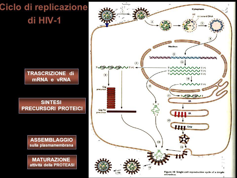 Ciclo di replicazione di HIV-1 MATURAZIONE attività della PROTEASI ASSEMBLAGGIO sulla plasmamembrana SINTESI PRECURSORI PROTEICI TRASCRIZIONE di mRNA e vRNA