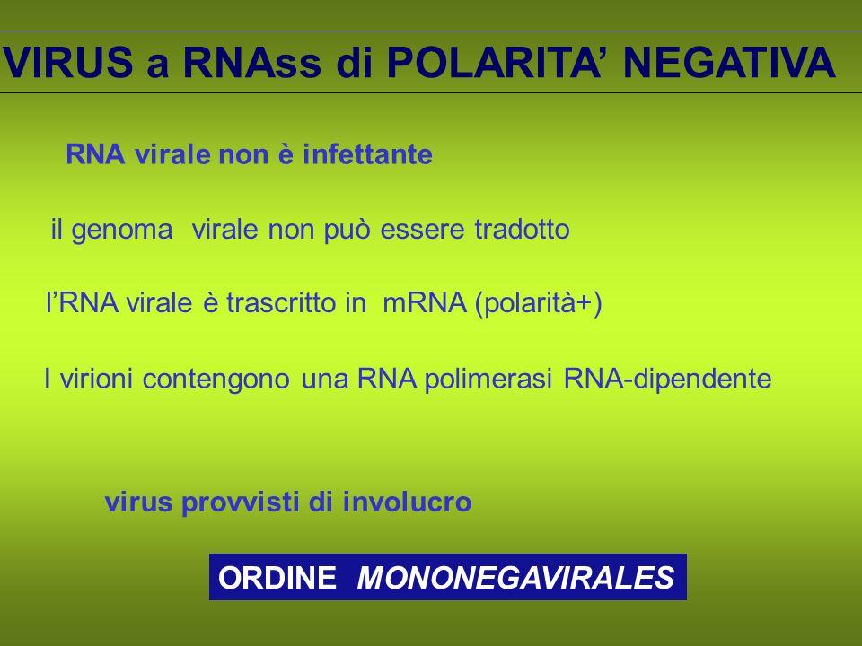 VIRUS a RNAss di POLARITA NEGATIVA il genoma virale non può essere tradotto lRNA virale è trascritto in mRNA (polarità+) RNA virale non è infettante I virioni contengono una RNA polimerasi RNA-dipendente virus provvisti di involucro ORDINE MONONEGAVIRALES