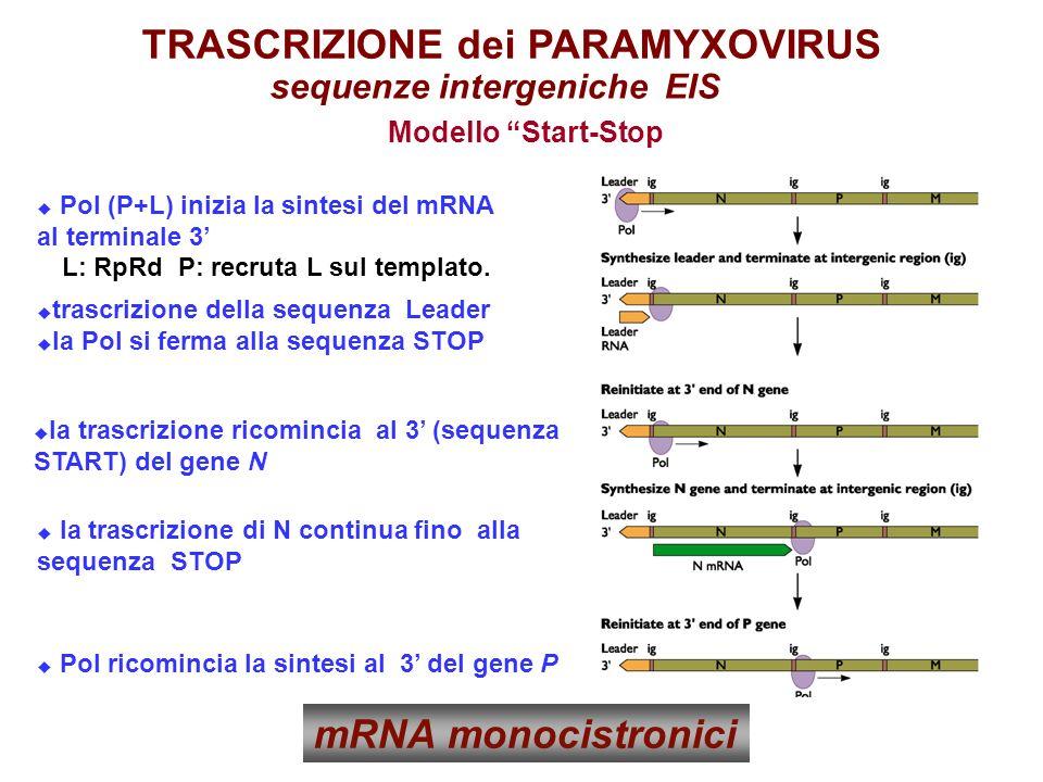 Pol (P+L) inizia la sintesi del mRNA al terminale 3 trascrizione della sequenza Leader la Pol si ferma alla sequenza STOP la trascrizione ricomincia al 3 (sequenza START) del gene N la trascrizione di N continua fino alla sequenza STOP Pol ricomincia la sintesi al 3 del gene P L: RpRd P: recruta L sul templato.