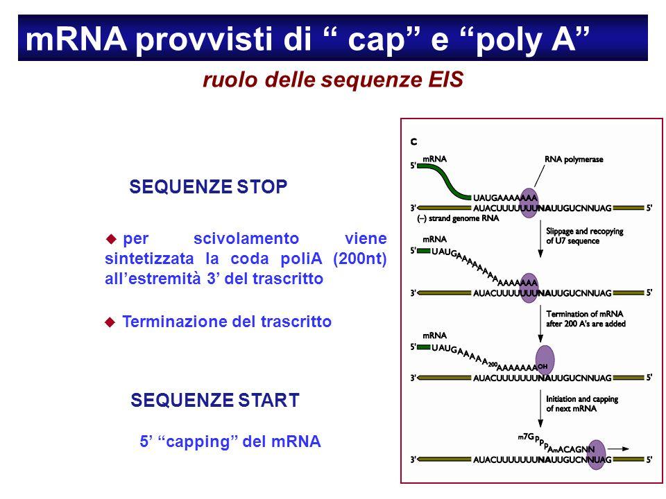 ruolo delle sequenze EIS SEQUENZE STOP per scivolamento viene sintetizzata la coda poliA (200nt) allestremità 3 del trascritto Terminazione del trascritto mRNA provvisti di cap e poly A SEQUENZE START 5 capping del mRNA