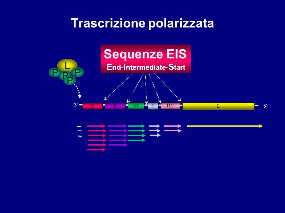 N M F HN L 3 5 Trascrizione polarizzata L P P Sequenze EIS E nd- I ntermediate- S tart P P P