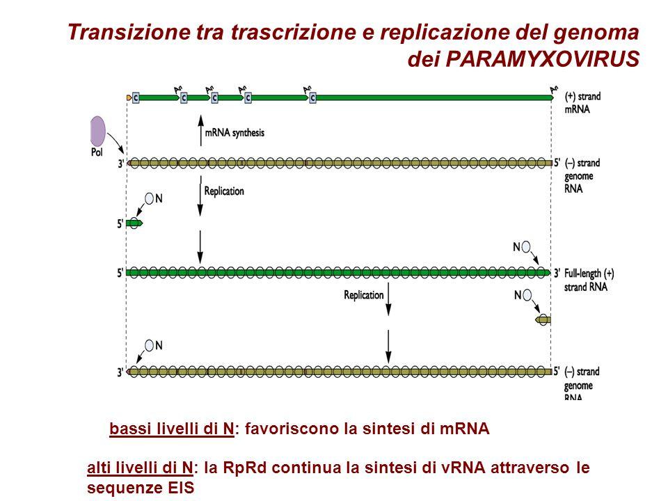 Transizione tra trascrizione e replicazione del genoma dei PARAMYXOVIRUS alti livelli di N: la RpRd continua la sintesi di vRNA attraverso le sequenze EIS bassi livelli di N: favoriscono la sintesi di mRNA