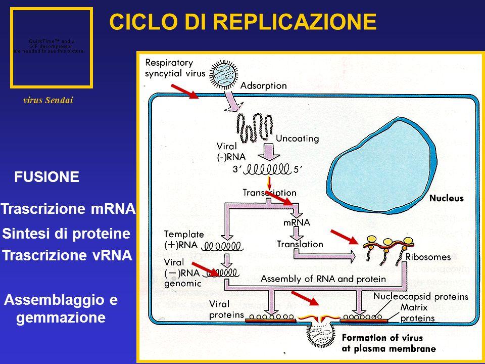 CICLO DI REPLICAZIONE Trascrizione vRNA Trascrizione mRNA FUSIONE Assemblaggio e gemmazione Sintesi di proteine virus Sendai