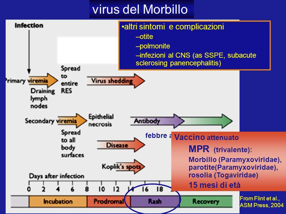 febbre alta virus del Morbillo From Flint et al., ASM Press, 2004 altri sintomi e complicazioni –otite –polmonite –infezioni al CNS (as SSPE, subacute sclerosing panencephalitis) Vaccino attenuato MPR (trivalente): Morbillo (Paramyxoviridae), parotite(Paramyxoviridae), rosolia (Togaviridae) 15 mesi di età