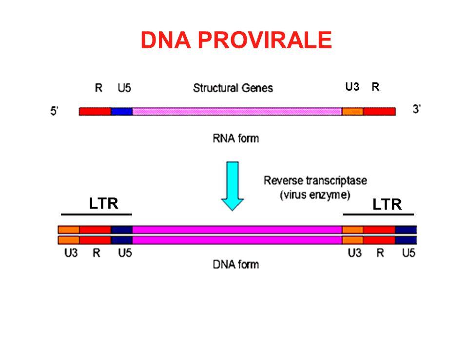DNA PROVIRALE LTR U3 R