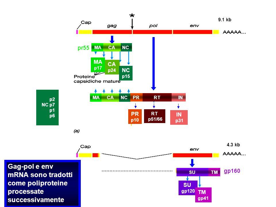 9.1 kb 4.3 kb Gag-pol e env mRNA sono tradotti come poliproteine processate successivamente SU gp120 gp160 TMSU TM gp41 RT p51/66 IN p31 PR p10 MANCCA pr55 MANCCA PR p2 NC p7 p1 p6 MA p17 IN RT CA p24 NC p15