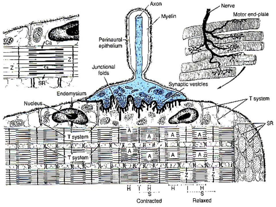 Differenze scheletrico-cardiaco Striatura, sarcomeri e meccanismi di contrazione identici Non ci sonocisterne terminaliNon ci sono cisterne terminali del reticolo sarcoplasmatico Diade –Piccole terminazioni in prossimità del tubulo T formano la Diade corrispondenza della linea ZLocalizzata in corrispondenza della linea Z Ca 2+ extracellulare fluisce attraverso i tubuli T fino alle cellule –Esistono anche Canali sodio-calcio (rapidi) e Canali calcio-sodio (lenti)