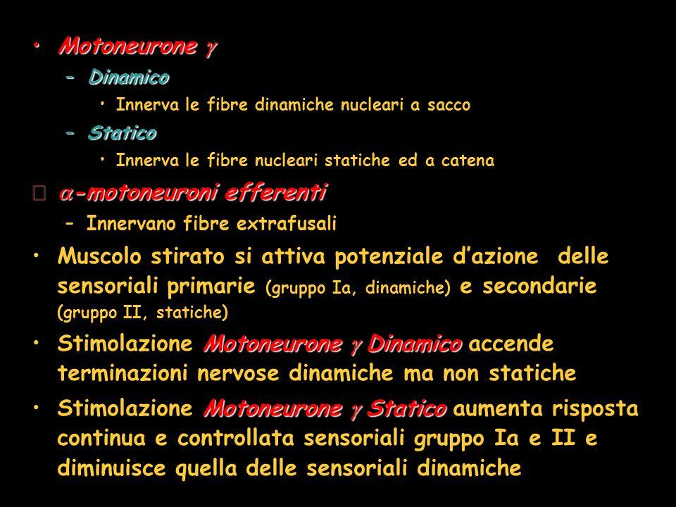 MotoneuroneMotoneurone –Dinamico Innerva le fibre dinamiche nucleari a sacco –Statico Innerva le fibre nucleari statiche ed a catena -motoneuroni effe