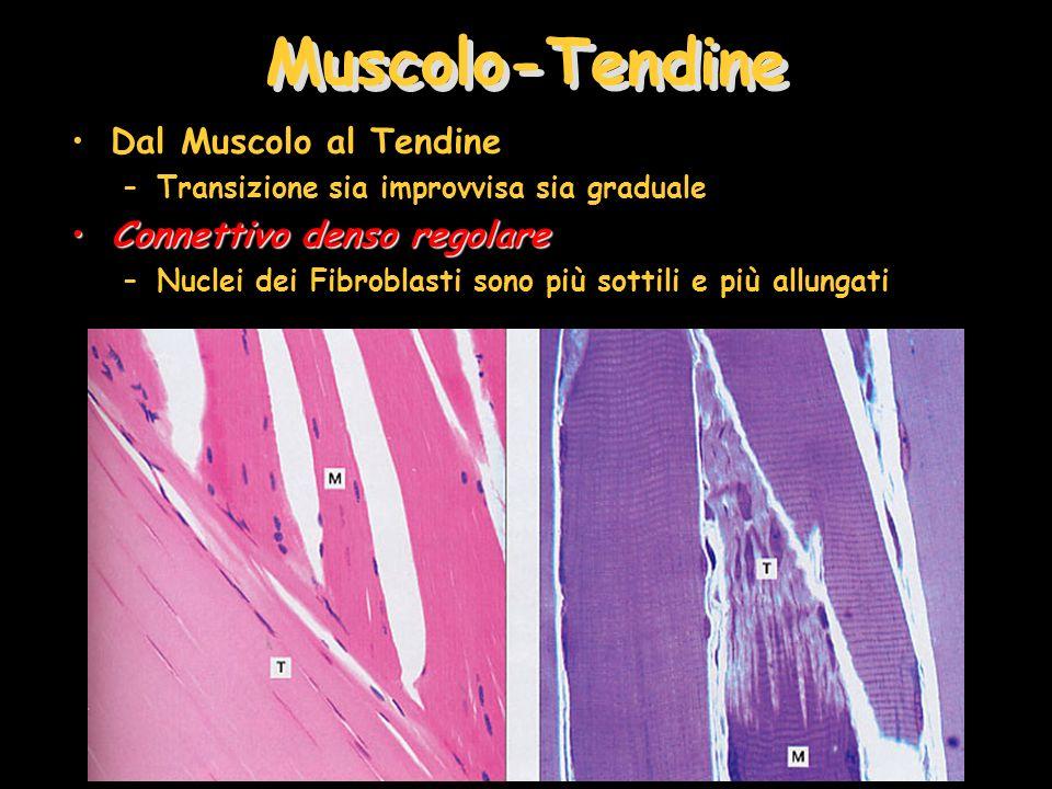 Muscolo-Tendine Dal Muscolo al Tendine –Transizione sia improvvisa sia graduale Connettivo denso regolareConnettivo denso regolare –Nuclei dei Fibrobl