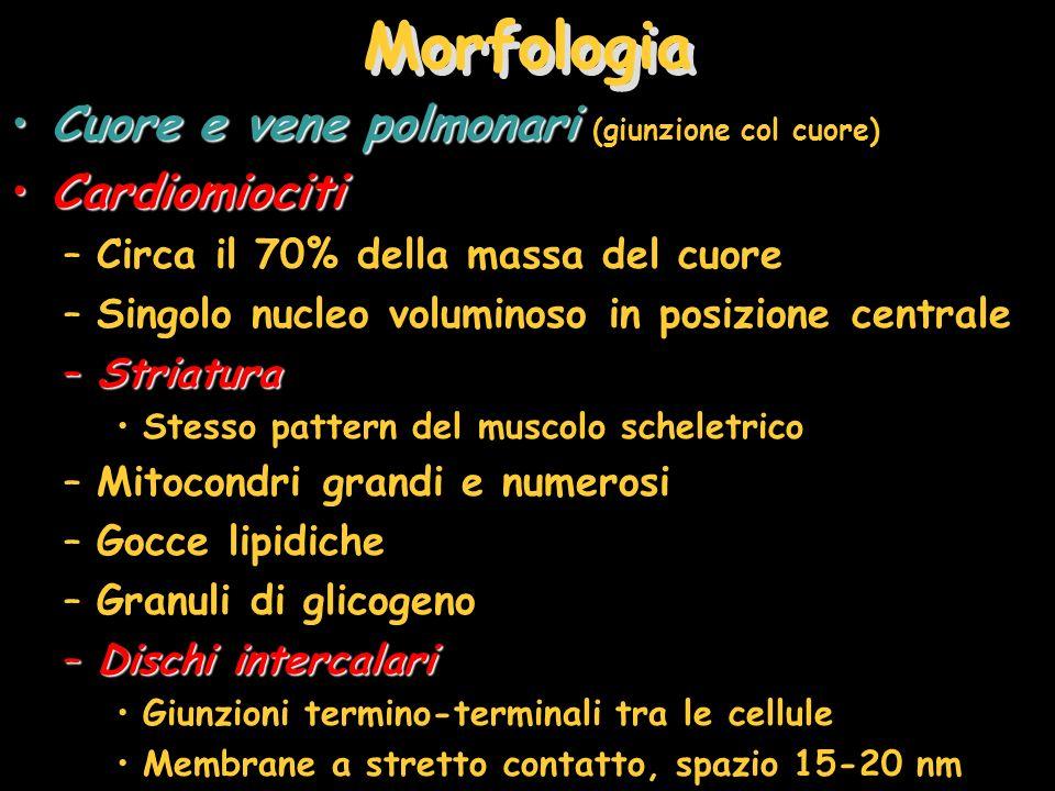 Morfologia Cuore e vene polmonariCuore e vene polmonari (giunzione col cuore) CardiomiocitiCardiomiociti –Circa il 70% della massa del cuore –Singolo