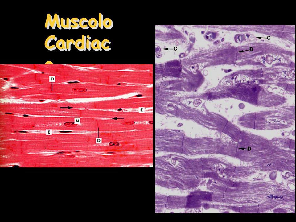Muscolo Cardiac o Muscolo Cardiac o