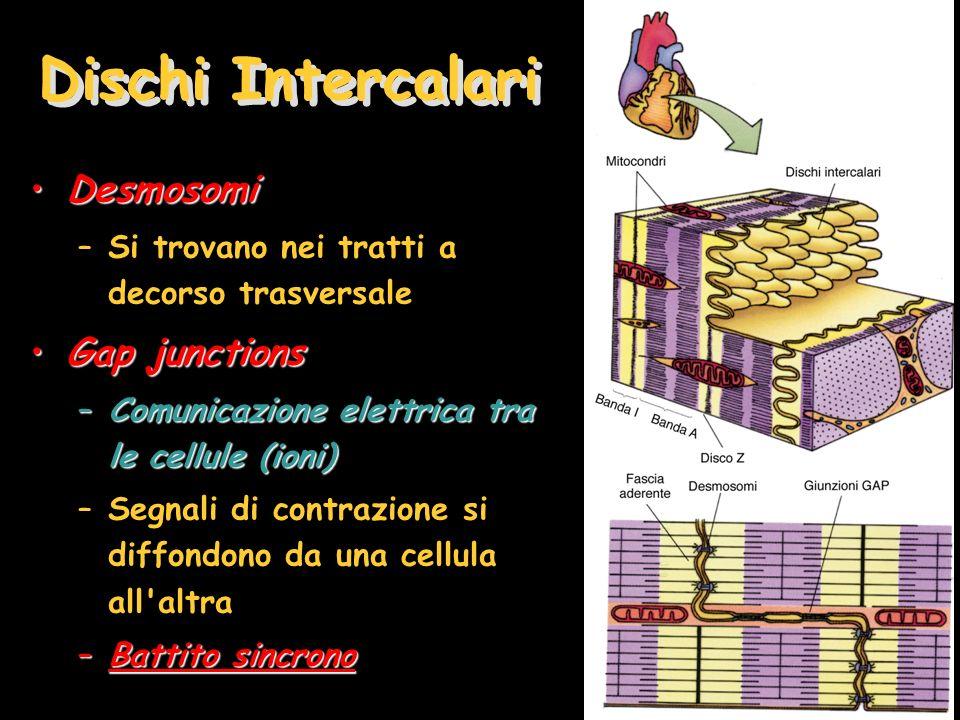 Dischi Intercalari DesmosomiDesmosomi –Si trovano nei tratti a decorso trasversale Gap junctionsGap junctions –Comunicazione elettrica tra le cellule