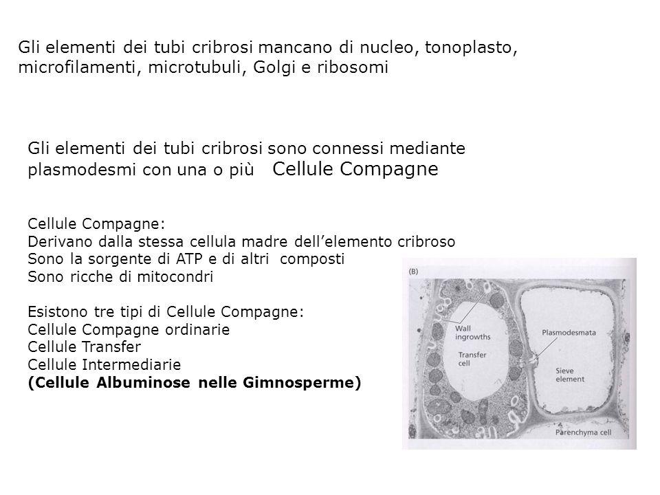Elementi del Cribro Cellule cribrose (gimnosperme) Elementi dei tubi cribrosi (angiosperme) Placche cribrose: aree estese di connessione tra elementi