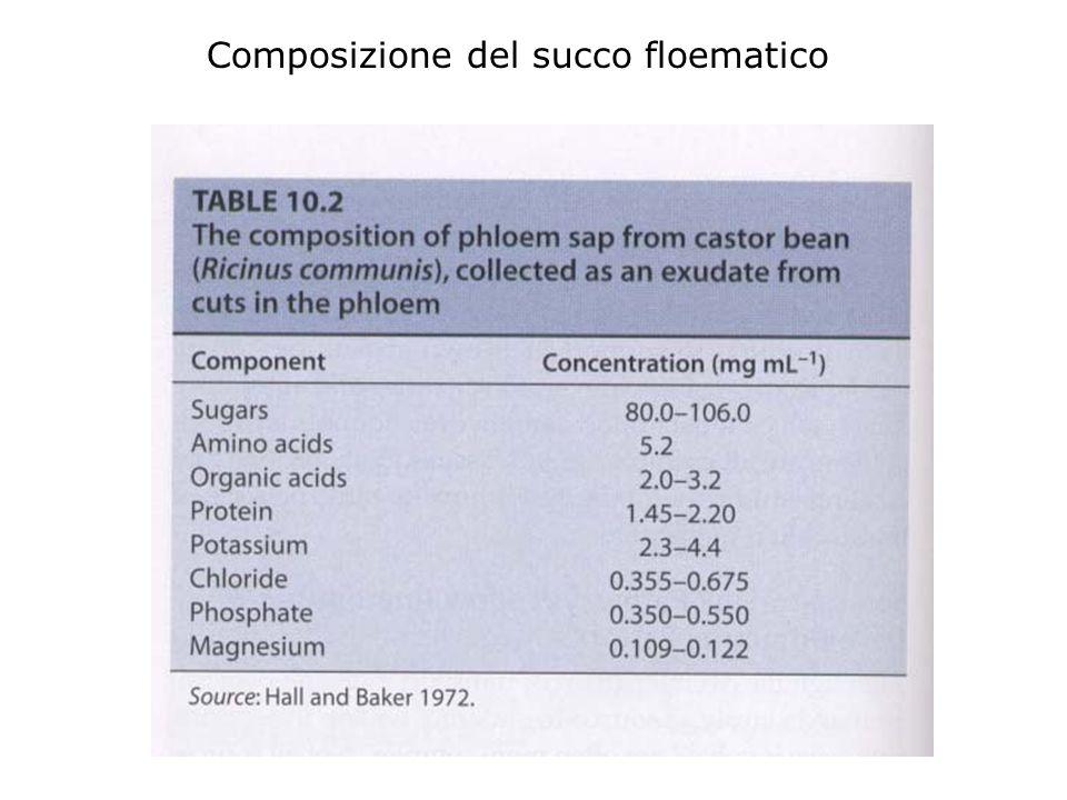 Direzione della traslocazione nel Floema La direzione di traslocazione nel floema non è definita rispetto alla gravità Avviene da zone di produzione d