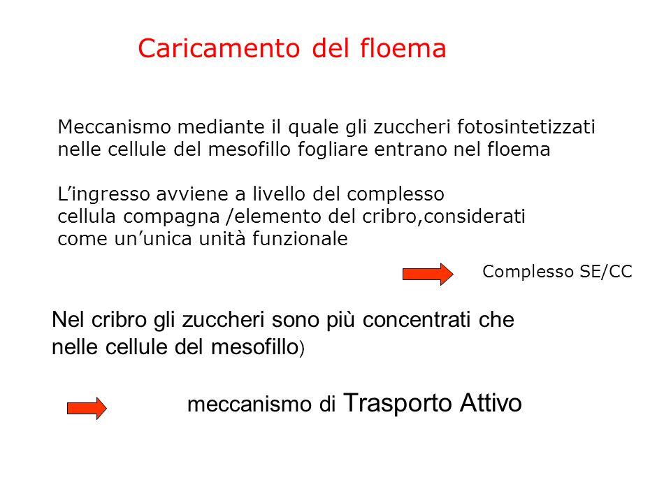 IL TRASPORTO NEL FLOEMA (Il caricamento del floema) (Il modello del flusso di pressione)