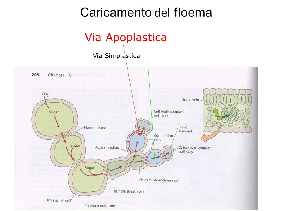 Caricamento del floema Meccanismo mediante il quale gli zuccheri fotosintetizzati nelle cellule del mesofillo fogliare entrano nel floema Lingresso av