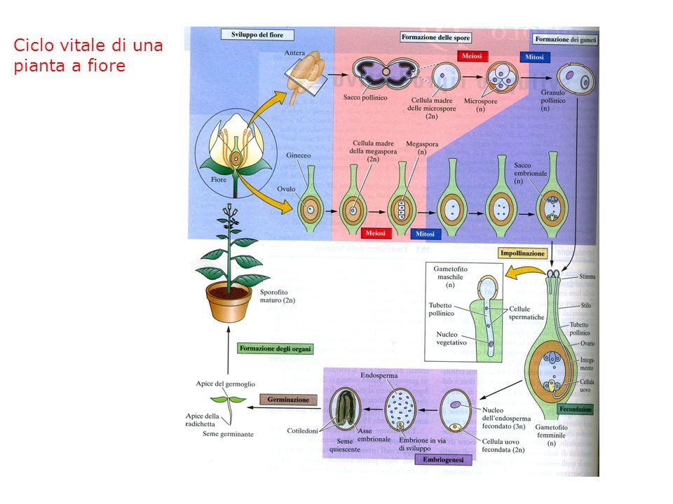 Tutte le piante a seme passano attraverso tre stadi di sviluppo EMBRIOGENESI SVILUPPO VEGETATIVO SVILUPPO RIPRODUTTIVO